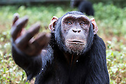 Female chimp, Medina, is photographed at the Ngamba Island Chimpanzee Sanctuary in Lake Victoria, Uganda. Medina is a relatively tall chimp with a pink- brown face and little hair at the back of her palms; because of constantly sliding on the floor during play time. Medina is very creative and spends most of her time observing so she can learn from her environment. At arrival, her canine teeth had been removed and the front teeth smashed. She was malnourished with a big and hard stomach which was believed to have worms. However, she was treated and she has recovered steadily.<br /> Medina is a very calm, friendly and generous chimp. Among the four babies, she is the only chimp who enjoys the company of humans. At the moment is learning the use of tools like sticks to retrieve food that falls under the fence line.<br /> She is fond of clapping and swinging her hands when asking for food or anything of her interest and also complains when given less food. Whenever she sees anything from a point where she cannot reach, she will always clap while whimpering at any person nearby to get it for her.<br /> She plays a lot in water and rarely climbs trees. In the evening she prefers nesting on the floor than in the hammock. 03/15 Julia Cumes/IFAW