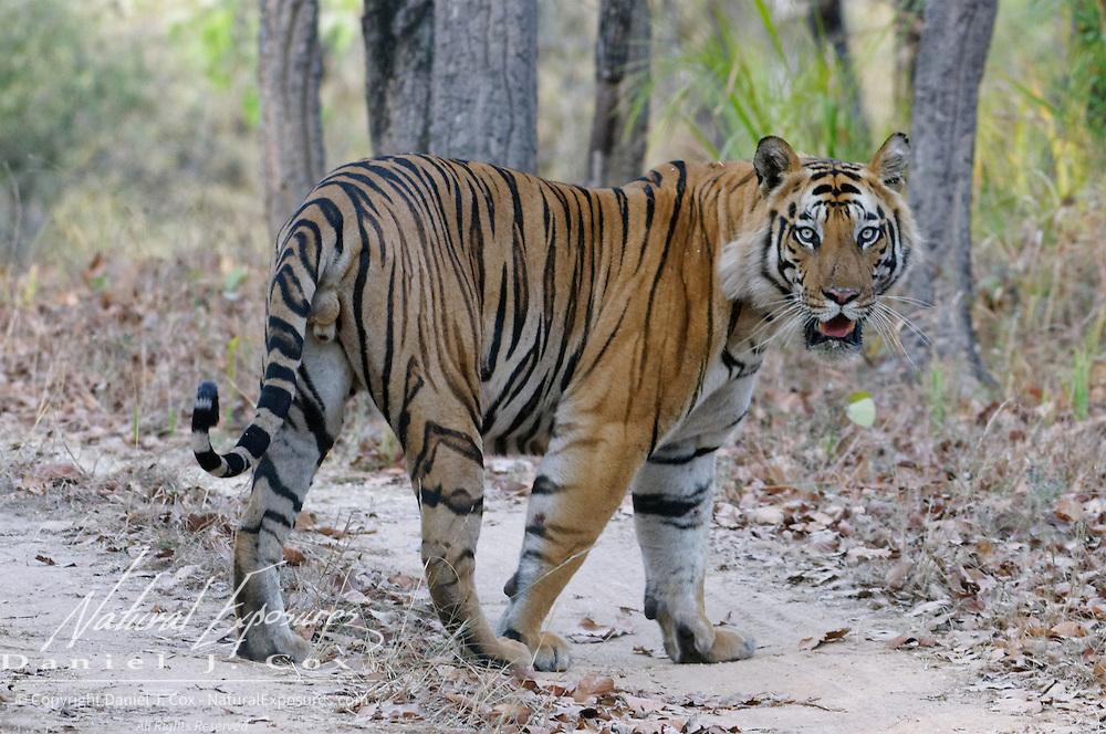 Tiger (Panthera tigris) in Bandhavgarh National Park, India.