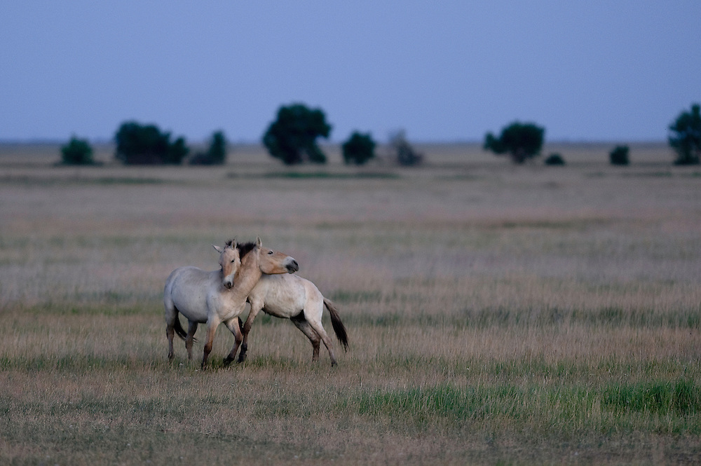 Przewalsky horses (Equus ferus przewalskii)  on the neverending grassland of Hortobagy National Park, Hungary