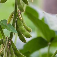 Edamame, edible green soybeans.