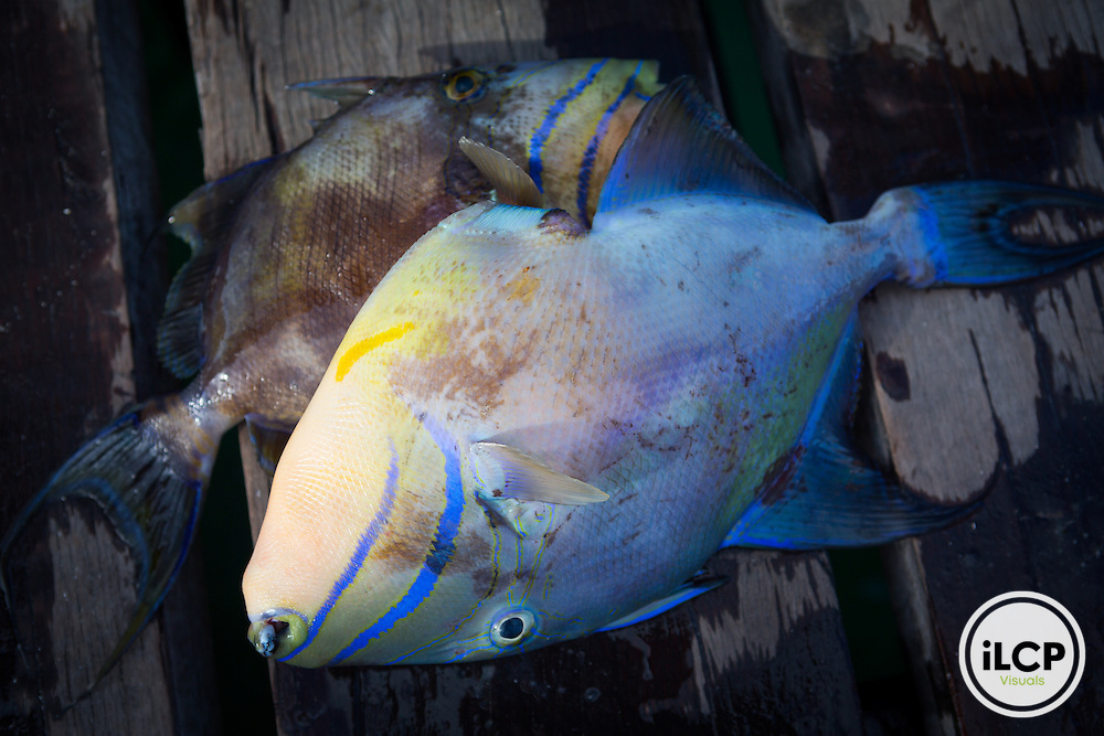 Triggerfish caught and ready to be cleaned in Puerto Morelos, Mexico. From a 2014 iLCP (International League of Conservation Photographers) expedition project documenting the people and places of the Mexican section of the Mesoamerican Reef (MAR).