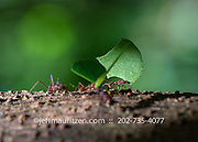 Leafcutter Ants carry leafs along the trunk of a tree on Barro Colarado Island located in Gatun Lake in the Panama Canal.
