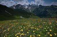 Landscape with Ranunculus breyninus; Buttercup; In background the Grauspitz; highest mountain Liechtenstein;