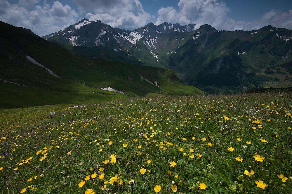 Landscape with Ranunculus breyninus; Buttercup; In background the Grauspitz; highest mountain Liechtenstein;