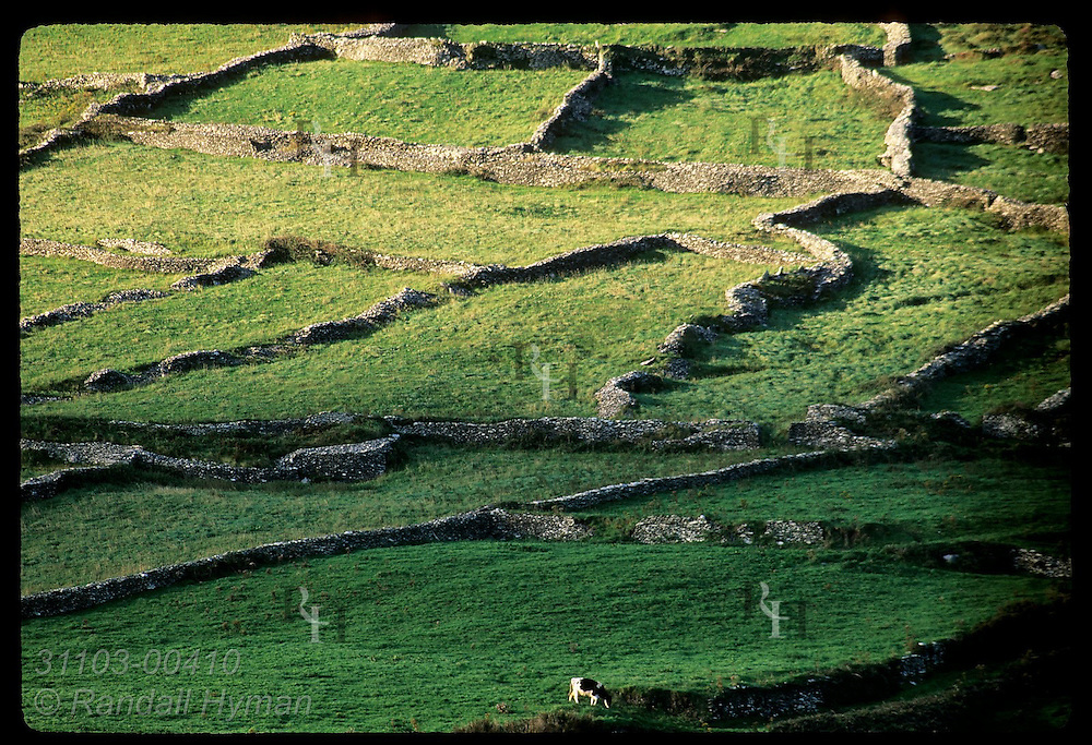 Lone cow meanders amid rows of drystone fences that separate pastures above Dunquin near tip of Dingle Peninsula; Ireland.