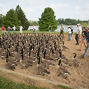 A group of volunteers, led by members of the Kentucky Department of Fish and Wildlife Resources, corral a group of Canada geese at Jacobson Park in Lexington, Ky., on Tuesday July 1, 2014. Around 475 geese were banded at the park and at a farm in Fayette County as part of a population study. Under the direction of the Department of Fish and Wildlife, each year at this time in various locations around the state, when the geese are molting and unable to fly, they are rounded up, banded, their genders identified and quickly released. Photo by David Stephenson