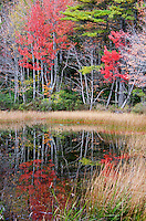 Scarlet autumn foliage and marsh grass reflected in Eagle Lake, Acadia National Park, Maine.