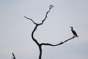 This is a photograph of a Double-crested Cormorant on a bare gnarled tree with a small black bird. It was taken at Green Cay Nature Center in Boynton Beach, Florida