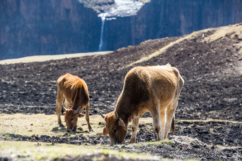 Cattle grazing in front of Maletsunyane Falls in Somenkong, Lesotho, Africa