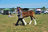 Class 08 - Shire Horse of the Year Qualifying Class
