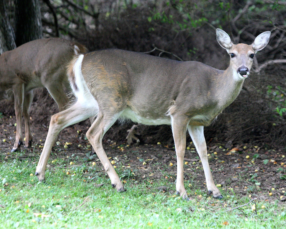 Deer eating apple's along side Livingston ave in Jamestown NY 9-26-09 photo by Mark L. Anderson