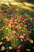 Fall leaves on lawn.