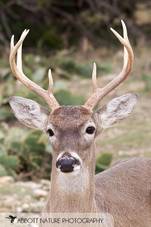 White-tailed Deer (Odocoileus virginianus)<br /> TEXAS: Somervell Co.<br /> Fossil Rim Wildlife Center<br /> J.C. Abbott &amp; K.K. Abbott