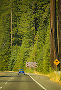 A blue vintage car drives through the Redwood forest in Northern California.