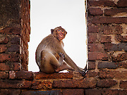 30 NOVEMBER 2014 - LOPBURI, LOPBURI, THAILAND: A Long Tailed Macaque monkey in Phra Prang Sam Yot, a historical temple in Lopburi. Lopburi is the capital of Lopburi province and is about 180 kilometers from Bangkok. Lopburi is home to thousands of Long Tailed Macaque monkeys. A regular sized adult is 38 to 55cm long and its tail is typically 40 to 65cm. Male macaques weigh around 5 to 9 kilos, females weigh approximately 3 to 6 kg. The Monkey Buffet was started in the 1980s by a local business man who owned a hotel and wanted to attract visitors to the provincial town. The annual event draws thousands of tourists to the town.    PHOTO BY JACK KURTZ