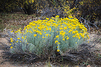Gray or Rubber rabbitbrush (Ericameria nauseosa) thrive in the hot dry climate at Black Canyon of the Gunnison National Park, Colorado.