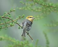 Pine Grosbeak - Female - Pinicola enucleator