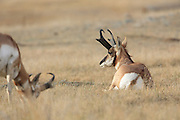 Two buck Pronghorns (antelope) in short-grass prairie habitat