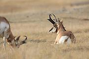 Two buck Pronghorns (antelope) in short-grass prairie habitat