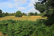 Single small oak tree standing in heathland in Suffolk Sandlings, Area of Outstanding Natural Beauty, Shottisham, Suffolk, England,UK
