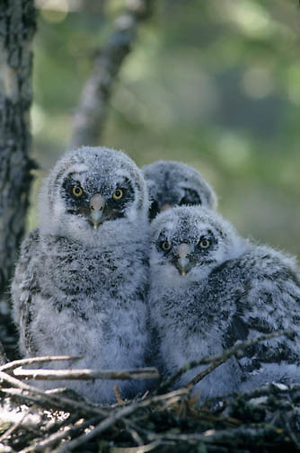 Great Gray Owl (Strix nebulosa) chicks in the nest in an old growth forest during the springtime.
