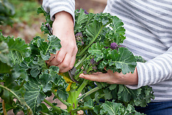 Picking purple sprouting broccoli. Brassica oleracea