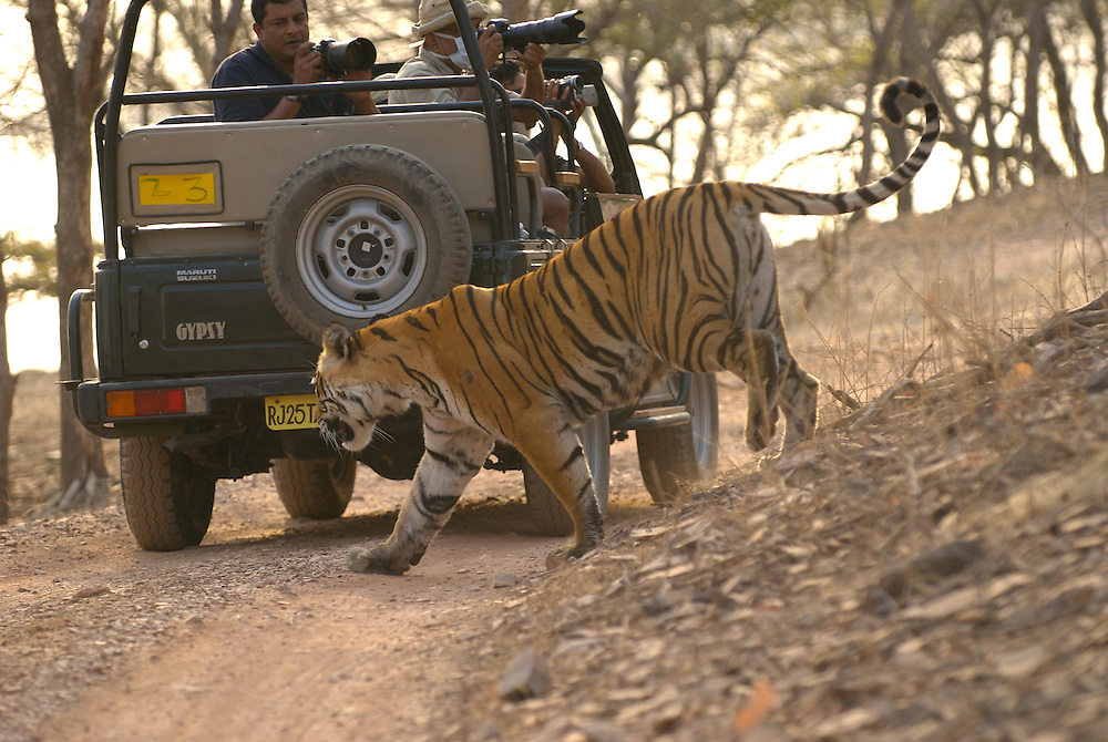 Machali, a wild tigress, walks past a tourist jeep in India's Ranthambhore national park.