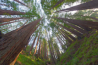 Wide Angle Looking up from a Coastal Redwood Forest. Image taken with a Nikon D3x and 14-24 mm f/2.8 lens (ISO 100, 14 mm, f/16, 2.5 sec). Raw image converted using Adobe Camera Raw 6.2 (landscape and used lens correction). HDR of 5 images (+2, +1, 0, -1, -2 EV) using Photoshop CS5 HDR Pro (default).