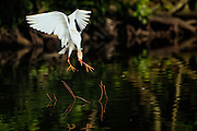 Cattle Egret Diving for a Stick
