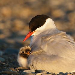 Hatched Arctic Turn chick seeks refuge from the wind under the warming feathers of its mother. Arctic turns nest along the Barrier Islands along the cost of the Arctic Refuge and the Beaufort Sea, AK