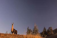 A llama on a farm in northern California