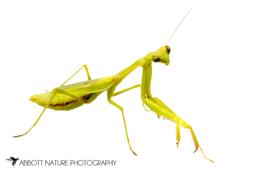 Carolina Mantis (Stagmomantis carolina) female<br /> United States: Alabama: Tuscaloosa Co.<br /> Tulip Tree Springs off Echola Rd.; Elrod<br /> 4-Oct-2017<br /> J.C. Abbott #2998