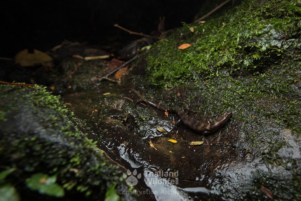 Robinson's Stream Skink (Tropidophorus robinsoni) in Phang-nga, Thailand