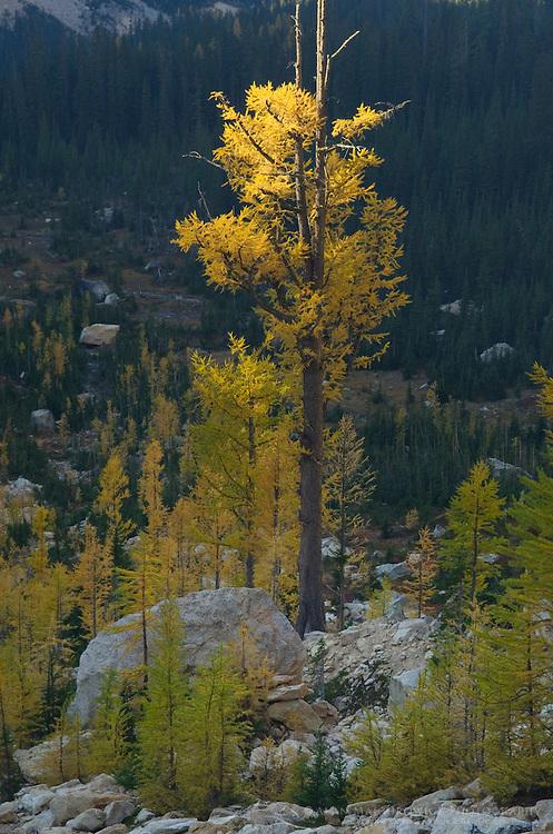 Subalpine Larch (Larix lyallii) in autumn, North Cascades Washington