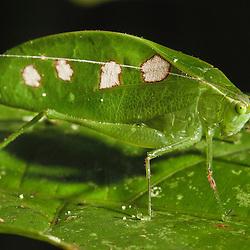 Leaf Katydid (Tettigoniidae) in the rainforest of Ecuador, Yarina Lodge- Grüne Langfühlerschrecke (Tettigoniidae) im Regenwald Ekuadors, Yarina Lodge