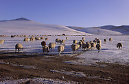 Mongolia. herd  in snow  in Erden Zuu area