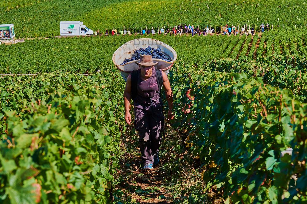 France, Region Bourgogne Franche-Comté, Côte-d'Or (21), Paysage culturel des climats de Bourgogne classés Patrimoine Mondial de l'UNESCO, Vosne Romanée, vendanges au Domaine Armelle et Bernard Rion // France, Burgundy, vineyard of Vosne Romané, Rion domain, grape harvest