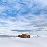 Atlantic walrus (Odobenus rosmarus rosmarus) sleeping on ice during a sunny summer evening in Svalbard.