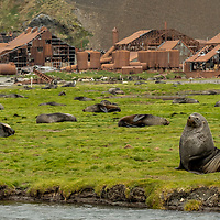 Antarctic fur seals on the grassy shoreline at the former whaling station in Stromness on South Georgia Island.