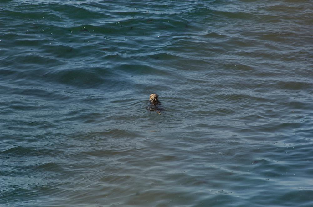 Sea Otter (Enhydra lutris) Monterey Bay, Monterey, California, United States of America