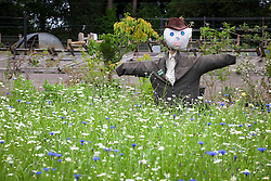 Scarecrow in the Kitchen Garden at Hidcote Manor amongst annual wildflower meadow mix. Cornflowers and Ox eye daisies