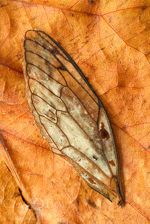I'm always amazed by the brevity of life. Only weeks before, the forest had been alive with the droning calls of cicadas and by the time that I made this photo in early fall, their siren songs had faded. This is a wing of a large Scissor Grinder Cicada (Tibicen auletes).