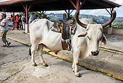 Ox used as a tourist attraction, Pinar del Río, Cuba