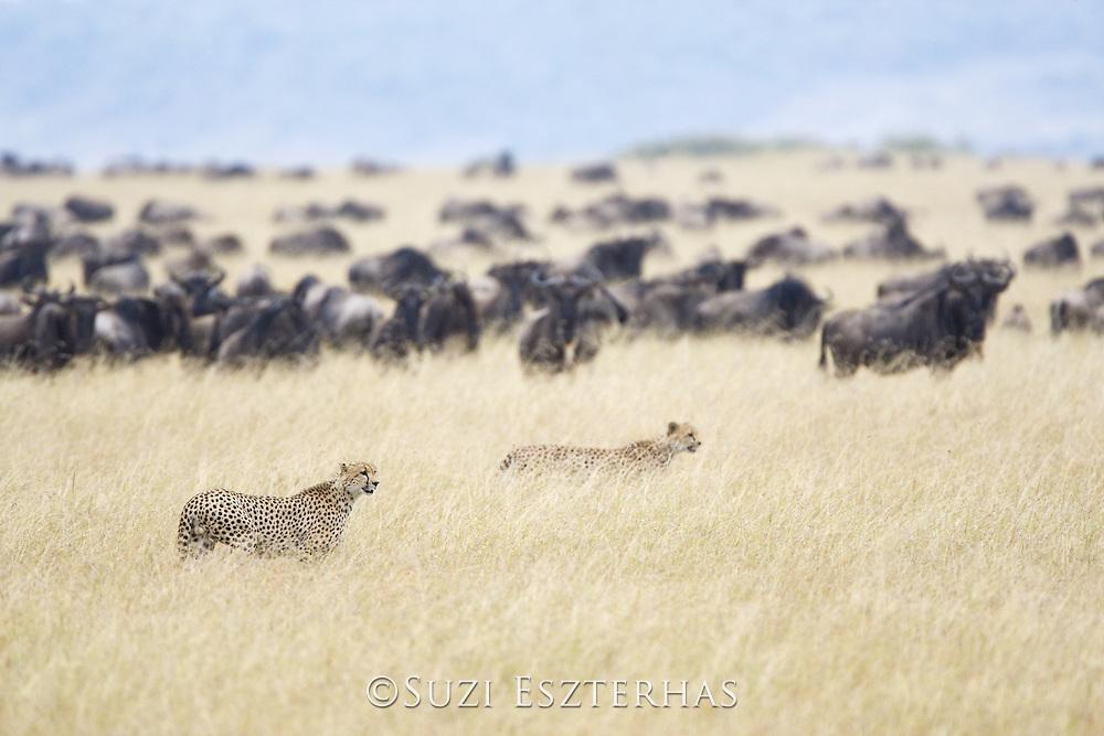 Cheetah <br /> Acinonyx jubatus<br /> Male(s) hunting young wildebeest <br /> Masai Mara Reserve, Kenya