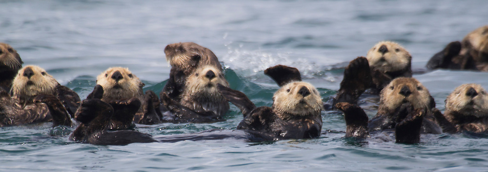 A raft of sea otters (Enhydra lutris) are packed tightly together.