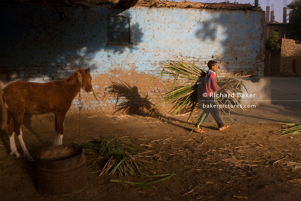 Mustafa, a young Egyptian brings soft sugarcane branches for horses and camels at the Pharaohs Stable, a business dependent on tourism based in the village of Bairat on the West Bank of Luxor, Nile Valley, Egypt.