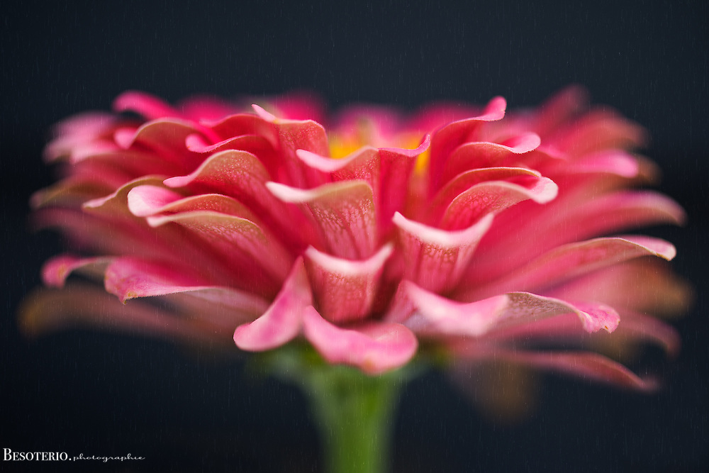 Pink zinnia against a navy backdrop with rain texture. Original fine art print. Select Lustre finish only once in your cart.