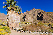 Palm oasis under Indianhead Peak, Borrego Palm Canyon, Anza-Borrego Desert State Park, California USA