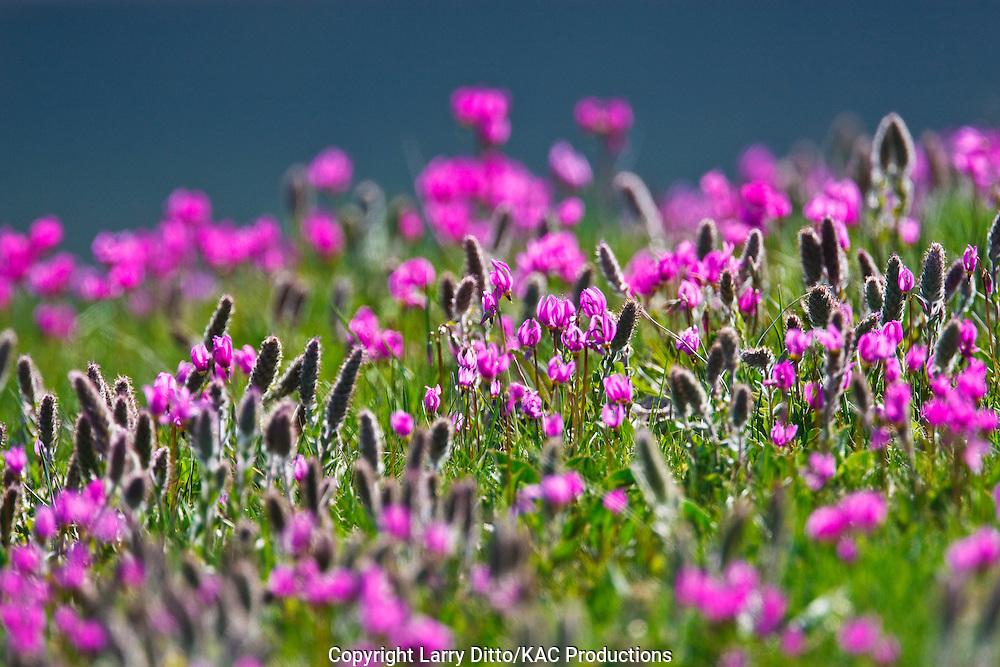 Wildflowers in Yellowstone National Park, Wyoming, USA, June