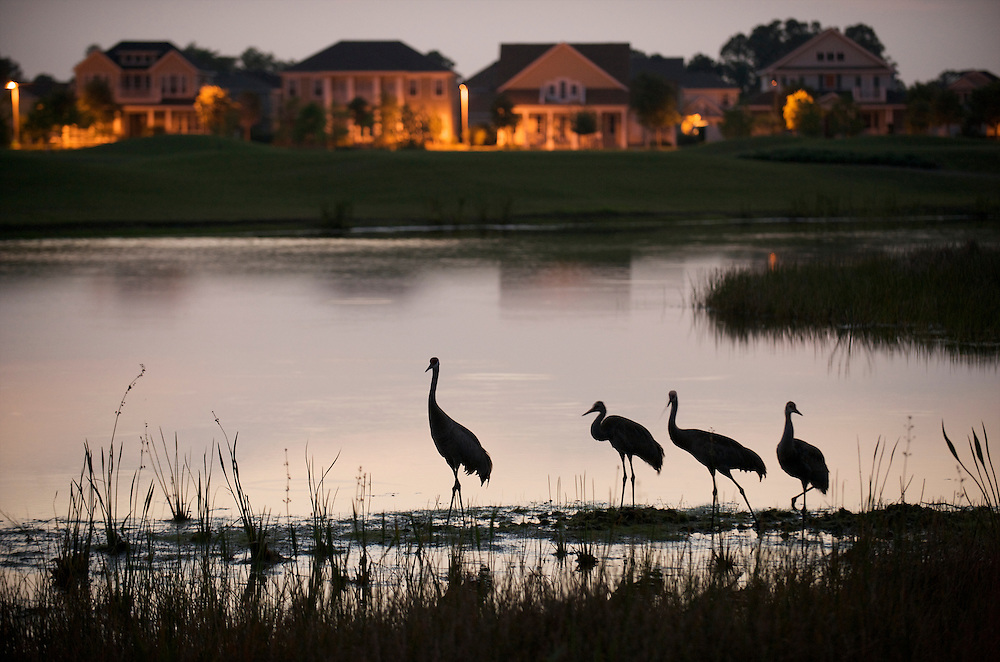 Sandhill Cranes feed in one of the neighborhoods of Harmony, Florida.  The community uses street lighting with full cutoff fixtures so light remains low and environmentally friendly.  They advertise their dark skies as part of their appeal and even don't allow night tennis courts that would mar the night sky.